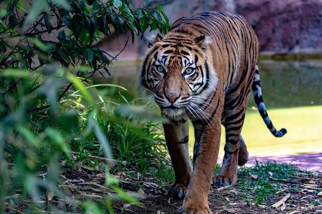 Tigre da Sumatra caminhando