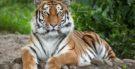 Tigres: características, habitat e subespécies