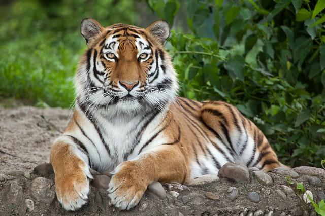 Tigre siberiano deitado